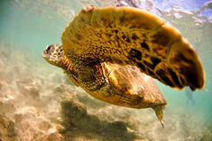 Nice to meet you (Micah Camara) Tags: ocean sea beach hawaii sand underwater turtle kauai housing honu seaturtle
