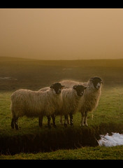 Sheep in foggy sunset (SamKirk9) Tags: trees sunset mist snow green misty fog stone wall canon landscape countryside view sheep yorkshire fells moors stonewall 1785mm dales yorkshiredales hawes askrigg wensleydale samkirk mooreland 400d samkirk9