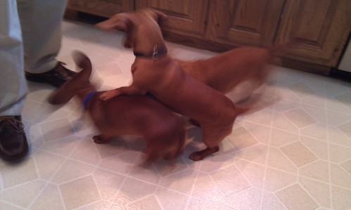 Doxie Mayhem!