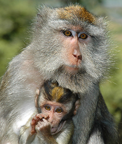 long-tailed Balinese macaques
