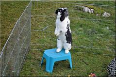 Islay (Niseag) Tags: playing cute rabbit bunny bunnies garden run islay jura rabbits lops