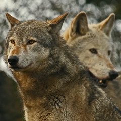 (Gary Wilson  ) Tags: ireland dublin nature animal canon photography eos grey zoo photo wolf foto wildlife gray canine lobo loup lupus wolves phoenixpark greywolf canis dublinzoo canislupus 100400l canidae graywolves garywilson 5dmkii