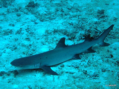 Whitetip reef shark, Maldives