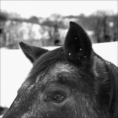 horse_023 (db | photographer) Tags: damien bottura damienbottura wwwdamienbotturafr nikon d80 nikond80 tamron 1750mm f28 xrdi tamron1750mm tamron1750mmf28 tamron1750mmf28xrdi phaseone captureone captureone4 adobe photosohop cs2 adobephotoshopcs2 noiretblanc noirblanc blackwhite noir blanc monochrome bokeh pdc dof profondeur champ profondeurdechamp deepoffield bokehlicious carre carr square format formatcarre formatcarr squareformat magic poetry magicsquarepoetry neige snow cheval horse oreilles ears oeil eye pelage coat crinire criniere mane france savoie hautesavoie maugny geo:lat=4630988454769657 geo:lon=647465247099456 geotagged
