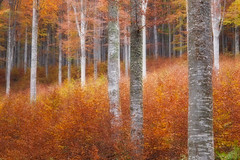 The Red Forest (Beffy the Witch) Tags: autumn trees forest cansiglio olympusep1 beffythewitch