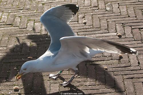 European Herring Gull, 26cy, Bk[D]G[A]