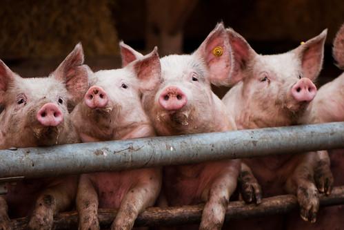 [フリー画像] 動物, 哺乳類, イノシシ科, 豚・ブタ, 201101241100