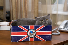 The Right Box for a British Cat! (tiggra15 / Svetlana Serdyukova) Tags: blue cat happy nikon box flag content shorthair british inside nikkor hiding unionjack britishshorthair shoebox grinders d300 britishflag tiggra15 1755mmf28d plushka