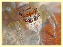 Icius sp. (PheCrew) Tags: salticidae soken phecrew iciussp