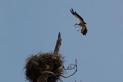 2005/06/24 11h52 (Valry Hugotte) Tags: morocco maroc stork rabat cigogne chellah shellah