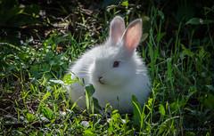 18 settembre 2016. Un coniglietto al parco della Caffarella (adrianaaprati) Tags: coniglio rabbit lapin animale parco allaperto bianco white blanc puppy