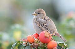In the middle of the food. (G.Claesson) Tags: housesparrow passerdomesticus grsparv fink fgel vogel rosehips nypon sverige sweden