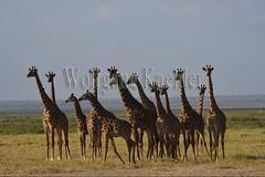 10076042 (wolfgangkaehler) Tags: 2016africa african eastafrica eastafrican kenya kenyan amboseli amboselikenya amboselinatlparkkenya amboselinationalpark wildlife mammal giraffe giraffes giraffacamelopardalistippelskirchi herd tower group