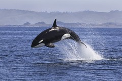 Orcinus Orca (toryjk) Tags: killer whale orca ocinus biigs biggs transient nature wildlife wild dolphin cetacean monterey watching pacific breach porpoising hunt predation sea lion killerwhale orcinusorca transientkillerwhale biggstransientkillerwhale