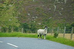 What ewe looking at? (artanglerPD) Tags: sheep ewe horns road fence wire