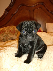 Max puppy pic (Rob Peters2010) Tags: pug black puppy
