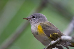 20160925-_MG_8037.jpg (sigolsen1) Tags: handheld birding meadbotanical canon7d wintergarden sigma150600c florida