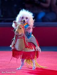 """Rider"" In The Pompeyo Dog Act (Partridge Road) Tags: circo hermanos vazquez chicago illinois circus pompeyo dog act"