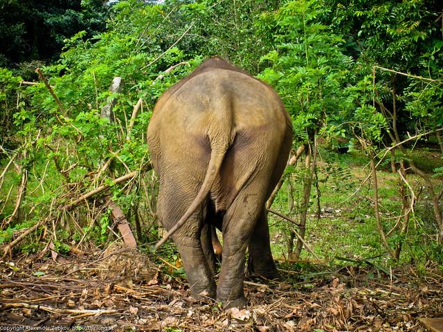 Попка слона