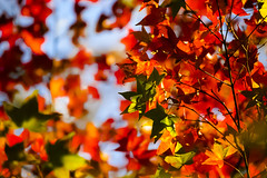 Autumn Leaves (ddsnet) Tags: autumn plant leaves sony taiwan autumnleaves   taoyuan autumnal 900      leaves reservoir autumn autumn reservoir leaves 900 shihmanreservoir shihman shihman