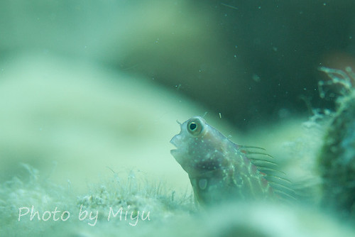 Fantasic blenny