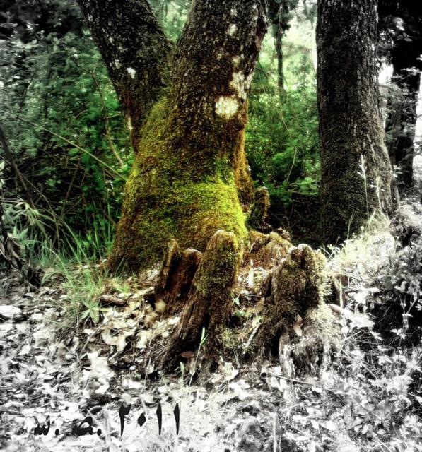 El árbol del druida...