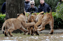 Flying Buttbite! (Alexander Yates) Tags: baby nature animal cat ilovenature zoo cub washingtondc smithsonian dc lion nationalzoo spectator lioncub flyingbuttbite