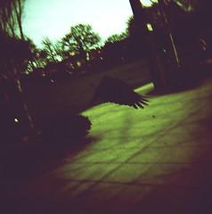 Dark Wings (liquidnight) Tags: seattle park film birds animals analog mediumformat flying washington wings xpro crossprocessed kodak birding flight diana crow dianaf ektachrome birdwatching e100vs corvid capitolhill corvusbrachyrhynchos calanderson corvidae