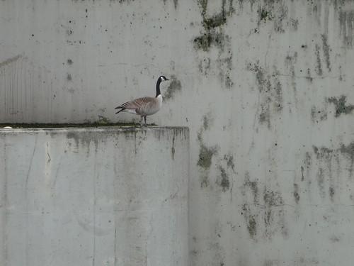 Bridge Goose