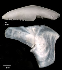 Bearded Brotula Otolith (FWC Research) Tags: fish florida research fwri otolith
