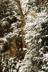 Snowing Again! (BarbaraCZ) Tags: winter snow evergreen 652 february711 52won 52weeksofnature