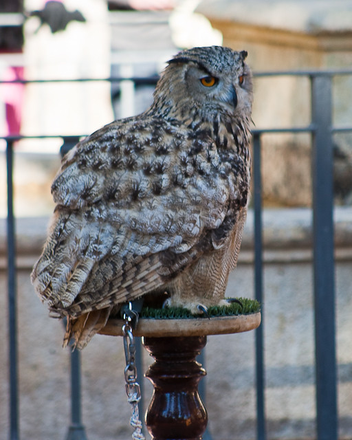 European Eagle Owl/Buho