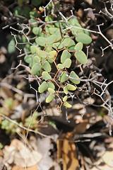 Ovate-Leaf Cliff Brake Fern (Pellaea ovata) (SailDirector) Tags: rock enchanted