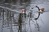 Goose fight (Bluetitsandmore) Tags: lake water geese ripples rickmansworth aquadrome