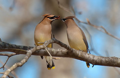 Love is in the Air (triggzBb) Tags: nature birds photography nikon wildlife waxwing cedarwaxwing bombycillacedrorum passerine bombycillidae