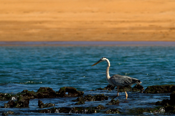 012811_GreatBlueHeron