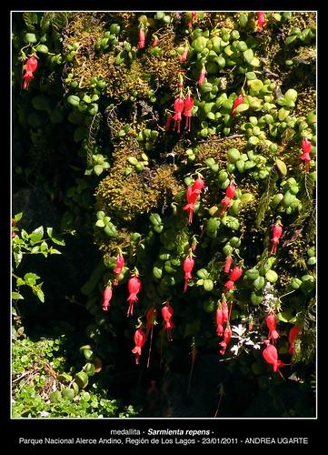 <br><br><br>Planta de Medallita (<i>Sarmienta scandens</i>), con sus flores acampanadas, captada en el Parque Nacional Alerce Andino, Región de Los Lagos.
