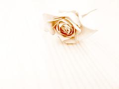 high key for #ds (Rosmarie Voegtli) Tags: inexplore rose highkey dailyshoot sepia dwcffhighkey flower fleur blume roses rosen petals blüten