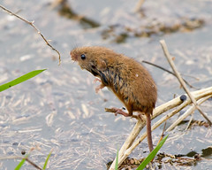 The one that got away (Andrew Haynes Wildlife Images) Tags: nature wales mammal wildlife hightide harvestmouse rspb parkgate ajh2008