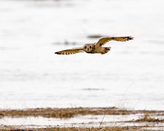 Short Eared Owl Fishing 2 (Andrew Haynes Wildlife Images) Tags: bird nature wales wildlife owl hightide rspb parkgate shortearedowl canon7d ajh2008