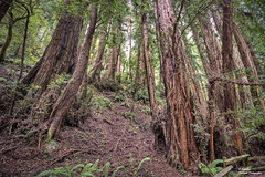Redwood in Muir Woods National Monument (III). San Francisco (California) (Abariltur) Tags: sanfrancisco california usa spain redwood johnmuir castelln muirwoodsnationalmonument sequoias sequoiasempervirens nikond90 afsdxnikkor1024mmf3545ged abariltur