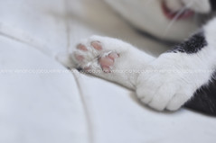 Sleepy cat - Cindy (Jack Venancio) Tags: cat gato gata patinhas aiquepreguiçadeportag