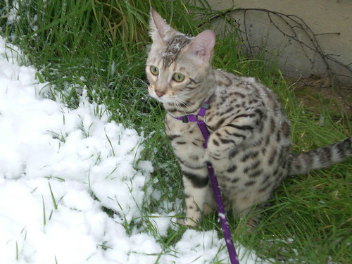 SnowKitties11