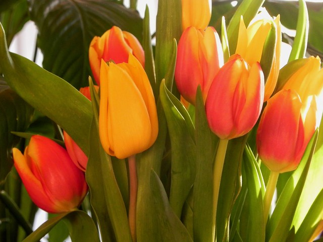 02-22-2011_Backlit tulips
