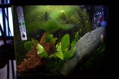 side view (jessfir) Tags: black aquarium community tank albino algae freshwater planted neontetra 29gallon biocube pearlgourami kuhliloach bristlenosepleco