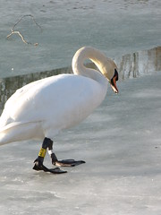swan*-* (n0ncHi) Tags: lake animals swans balatonice