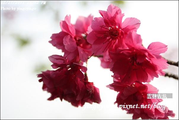 雲林古坑_20110227_I6544