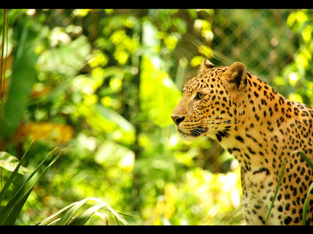 zoo negara leopord!