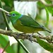 Blue-naped Chlorophonia (John Caddick)
