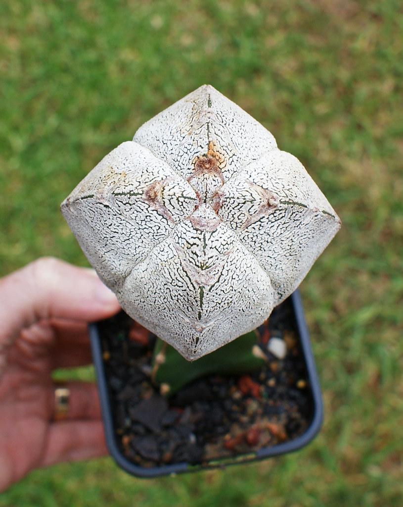 Astrophytum Cultivars  5490108243_887bfe566d_b